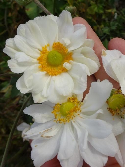 "Анемона японская ""Вирлвинд"" (Anemone japonica ""Whirlwind"") - 7"