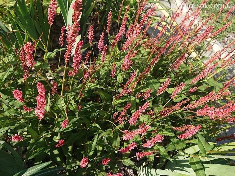 """Горец стеблеобъемлющий """"Файртейл"""" (Persicaria amplexicaule """"Firetail"""") - 4"""