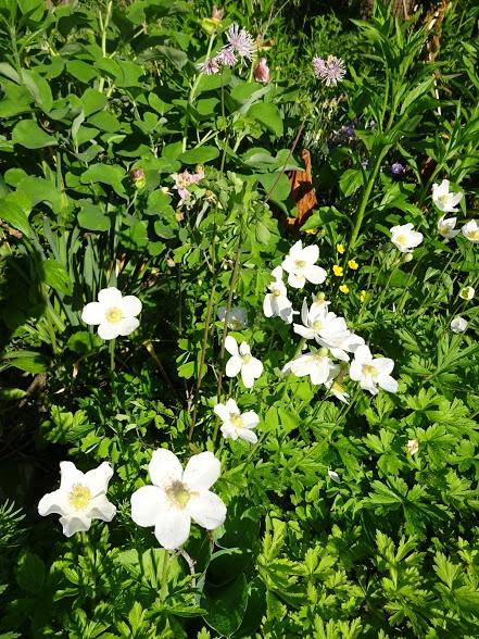 Анемона лесная (Anemone sylvestris) - 2