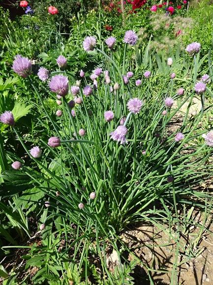 Лук скорода (Allium schoenoprasum) - 3