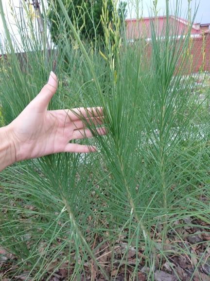 Асфоделина либорнская (Asphodeline liburnica) - 6