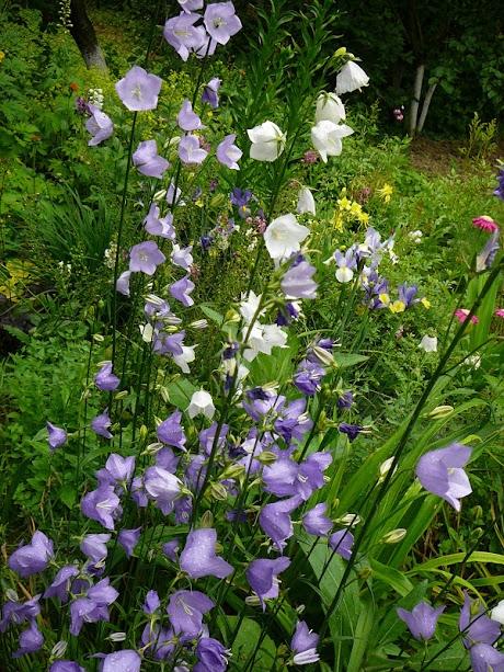Колокольчик персиколистный (Campanula persicifolia) - 4