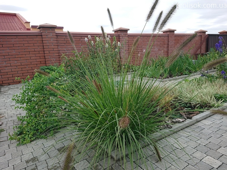 Пеннисетум лисохвостовый (Pennisetum alopecuroides) - 1