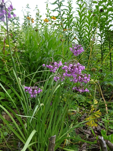 Лук склоненный (Allium cernuum Roth) - 5