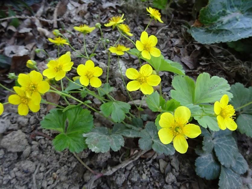 Вальдштейния тройчатая (Waldsteinia ternata) - 1