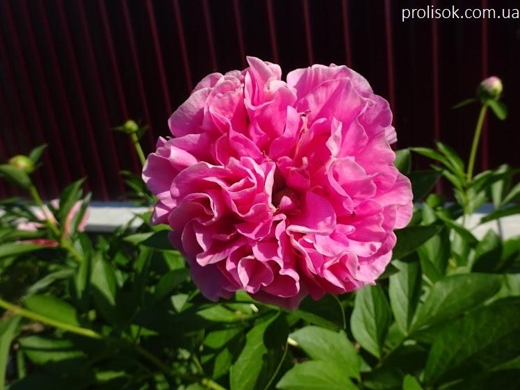 "Пион ""Карнейшен Букет"" (Paeonia ""Carnation Bouquet"") - 4"