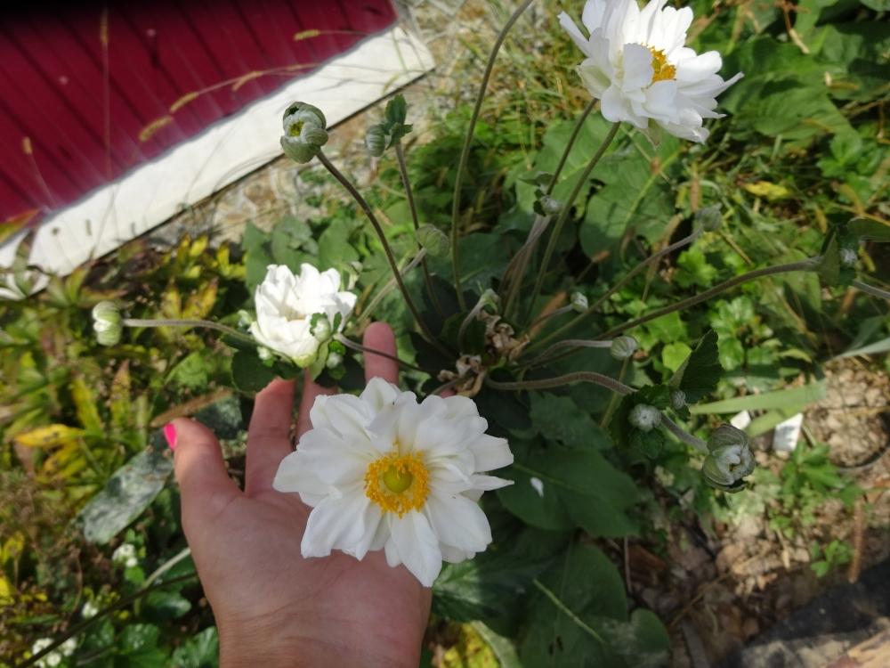 "Анемона японская ""Вирлвинд"" (Anemone japonica ""Whirlwind"") - 5"