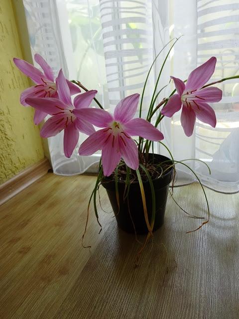 Зефирантес килеватый (Zephyranthes carinata Herb.) - 1
