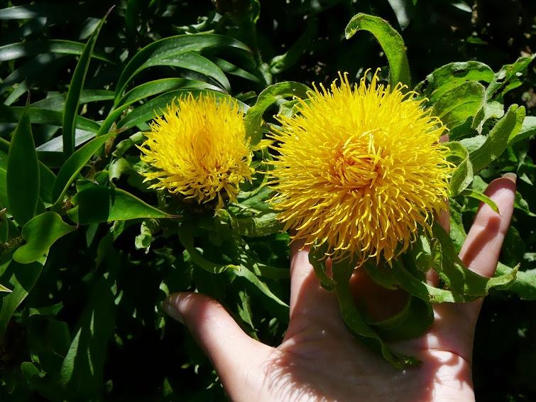 Василек крупноголовый (Centaurea macrocephala) - 1