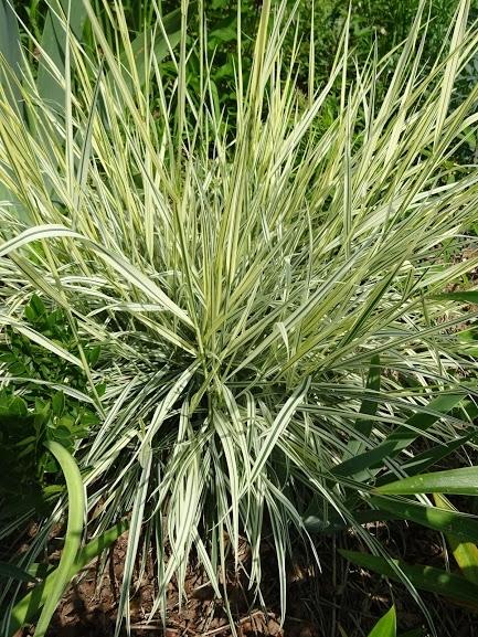 """Райграс луковичный """"Вариегатум"""" (Arrhenatherum elatius subsp. bulbosum """"Variegatum"""") - 6"""