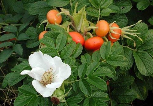 Шиповник морщинистый белый (Rosa rugosa Alba) - 1