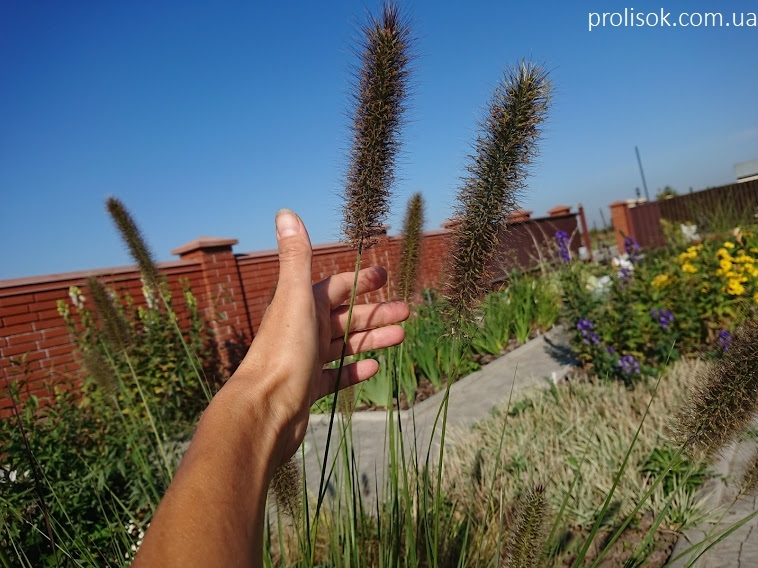 Пеннисетум лисохвостовый (Pennisetum alopecuroides) - 2