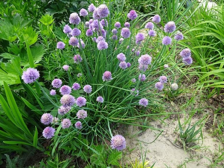 Лук скорода (Allium schoenoprasum) - 2