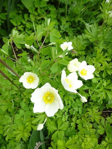 Анемона лесная (Anemone sylvestris) - 4