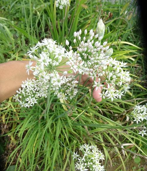 Лук Китайский резанец (Allium tuberosum) - 1