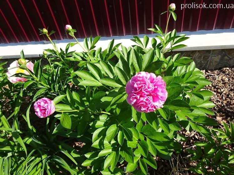 "Пион ""Карнейшен Букет"" (Paeonia ""Carnation Bouquet"") - 3"