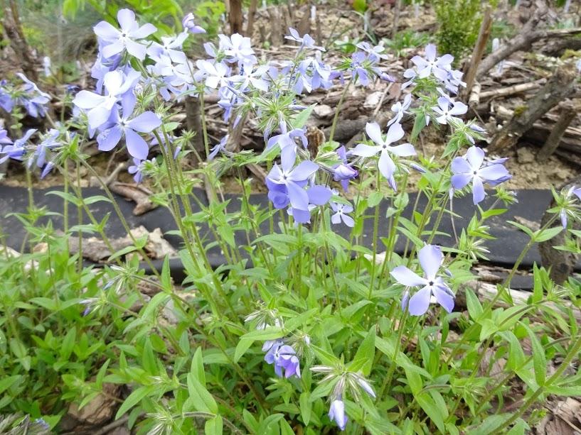 Флокс растопыренный голубой (Phlox divaricata blue) - 3