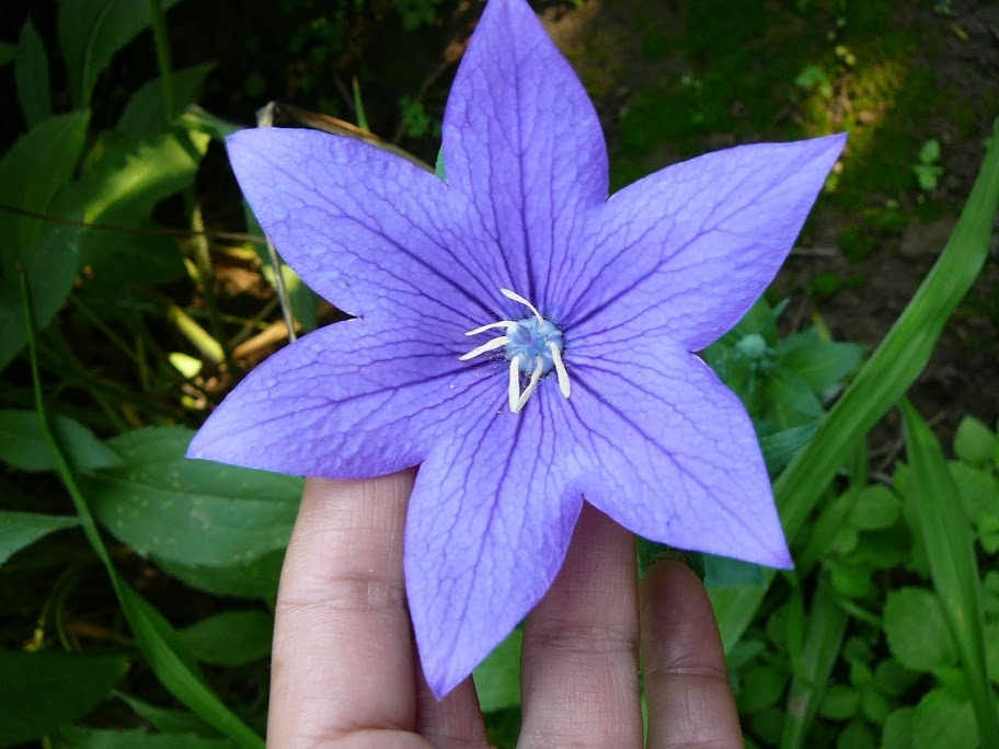 "Ширококолокольчик крупноцветковый ""Fuji Blue"", ""Fuji Pink"", или Платикодон (Platycodon grandiflorus ""Fuji Blue"", ""Fuji Pink"") - 1"