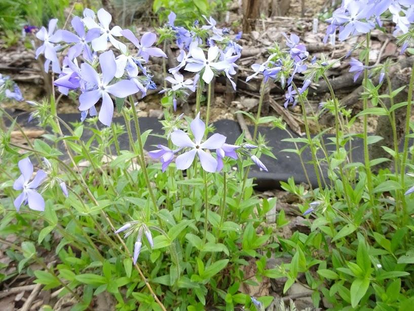 Флокс растопыренный голубой (Phlox divaricata blue) - 2