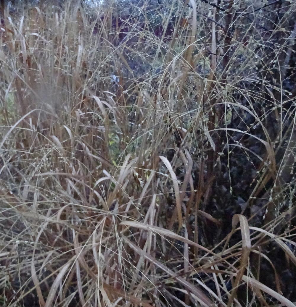 Просо скрытое или Дихантелиум скрытый (Panicum clandestinum, Dichanthelium clandestinum) - 2