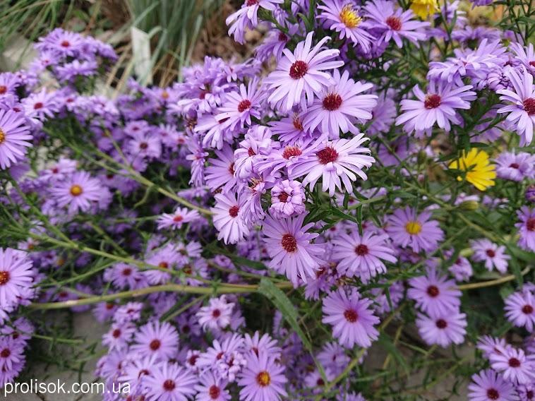 """Астра новобельгийская """"Мари Баллард"""" (Aster (Symphyotrichum) novi-belgii """"Marie Ballard"""") - 1"""