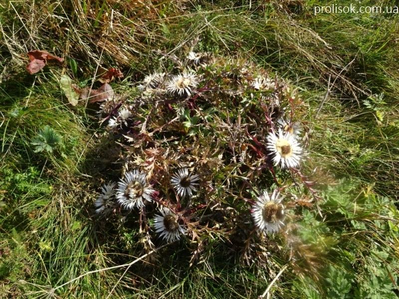 Колючник осотовидный (Carlina cirsioides) - 3