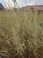 """Райграс луковичный """"Вариегатум"""" (Arrhenatherum elatius subsp. bulbosum """"Variegatum"""") - 7"""