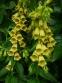 Наперстянка крупноцветковая (Digitalis grandiflora) - 1