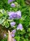 Колокольчик персиколистный (Campanula persicifolia) - 3