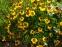 """Гелениум """"Виндлей"""" (Helenium """"Wyndley"""" (Sneezeweed)) - 2"""