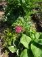 "Бруннера крупнолистная ""Дианас Голд"" (Brunnera macrophylla ""Diane's Gold"") - 3"