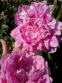 "Пион ""Вивид Роуз"" (Paeonia ""Vivid Rose"") - 2"