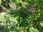 Дубровник обыкновенный (Teucrium chamaedrys) - 2