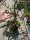 Колючник осотовидный (Carlina cirsioides) - 2