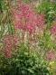 Гейхера кроваво-красная (Heuchera sanguinea) - 1