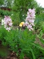 Ясенец белый вариант пурпурный (Dictamnus albus var. purpureus) - 4