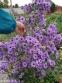 """Астра новобельгийская """"Мари Баллард"""" (Aster (Symphyotrichum) novi-belgii """"Marie Ballard"""") - 2"""