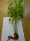 "Очитник белорозовый ""Медио-вариегатум"" (Hylotelephium erythrostictum ""Medio-variegatum"") - 3"