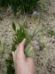 Рябчик ува вульпис (Fritillaria uva vulpis) - 3