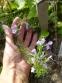Чабер полуколосовидный (Satureja subspicata) - 1
