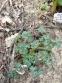 "Аквилегия зеленоцветковая ""Шоколадный солдатик"" (Aquilegia viridiflora ""Chocolate Soldier"") - 3"