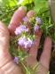 Чабер полуколосовидный (Satureja subspicata) - 2