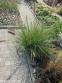 Пеннисетум лисохвостовый (Pennisetum alopecuroides) - 4