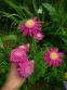 """Пиретрум розовый гибрид """"Ванесса"""" (Pyrethrum roseum hybridum """"Vanessa"""") - 2"""
