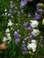 Колокольчик персиколистный (Campanula persicifolia) - 2