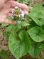 Бруннера сибирская (Brunnera sibirica Stev.) - 4