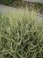 """Райграс луковичный """"Вариегатум"""" (Arrhenatherum elatius subsp. bulbosum """"Variegatum"""") - 1"""