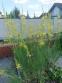 Асфоделина либорнская (Asphodeline liburnica) - 3
