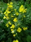 Энотера четырехугольная (Oenothera fruticosa subsp. glauca) - 1