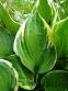 Хоста Форчуна вар. Ауреомаргината (Hosta fortunei var. Aureomarginata) - 1